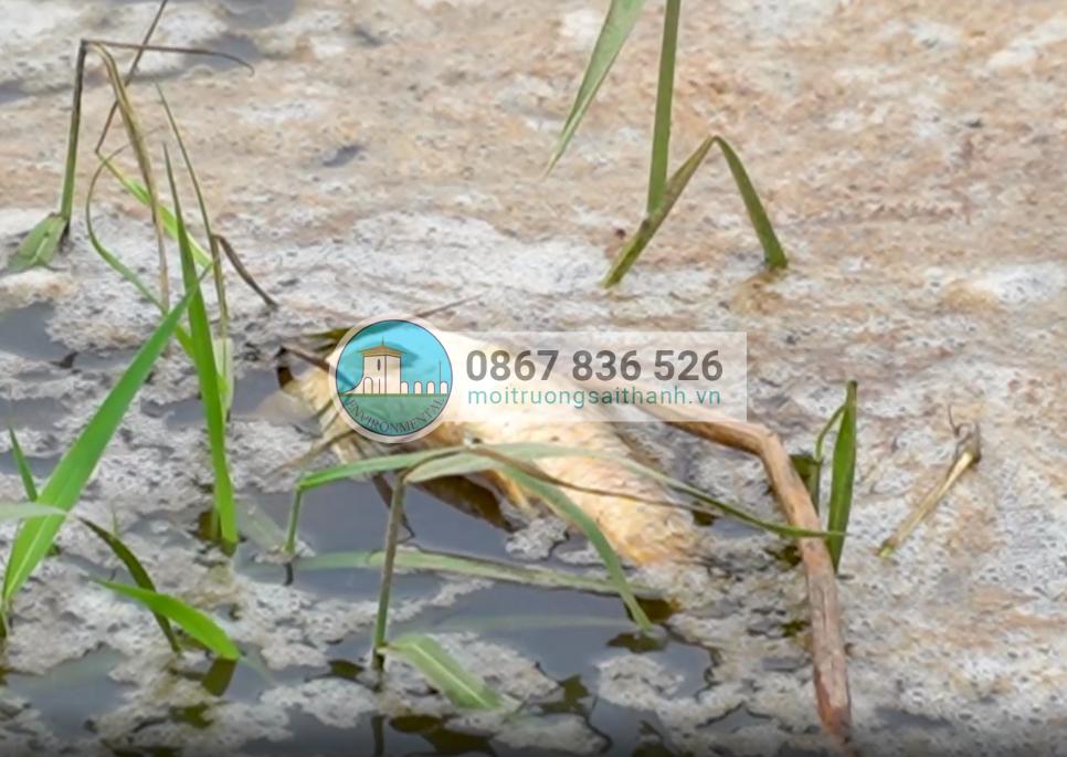 Cá chết nổi trên sông Hầm Giang, gây mùi hôi thối nồng nặc